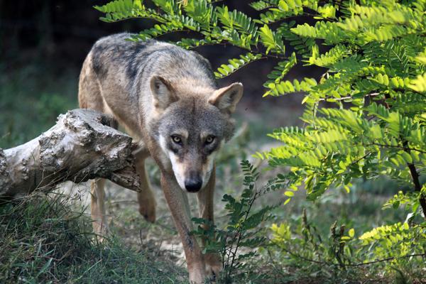 Inseguendo i lupi sull'Appennino