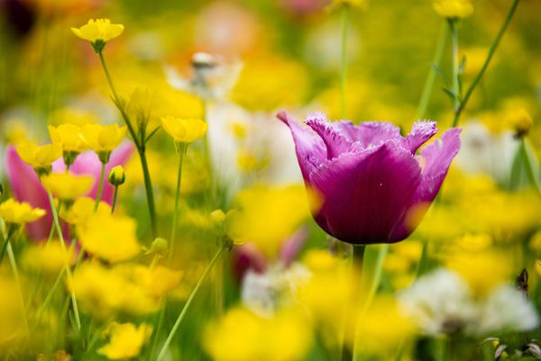 Tulipani in fiore e la villa diventa quadro