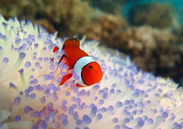 Pesce Pagliaccio E Anemone.Nemo Il Pesce Pagliaccio E Tra I Pesci Piu Minacciati Dallo Sbiancamento Dei Coralli Animali Ansa It
