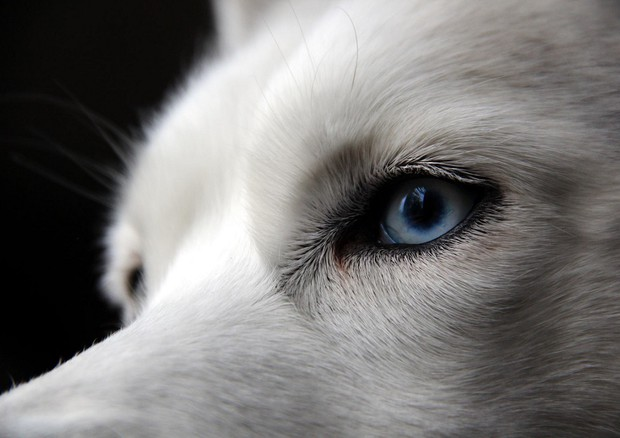 Nel dna il segreto degli occhi azzurri dei siberian husky news - Husky occhi diversi ...