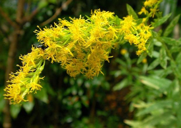 Una pianta di Solidago altissima. E' la specie sulla quale è stato condotto l'esperimento che dimostra come le piante trasmettono i segnali di pericolo alle loro simili (fonte: yamatsu, Wikipedia) © Ansa