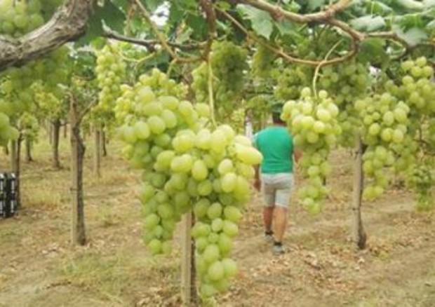 Cia, 3 mosse per rilanciare l'uva da tavola, vale 1 miliardo