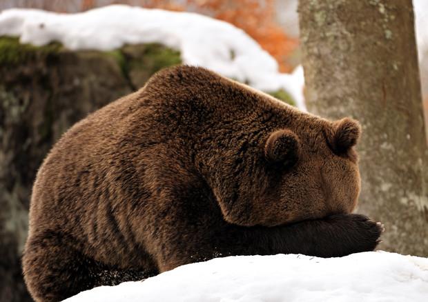 Il segreto del letargo degli orsi contro l'atrofia muscolare