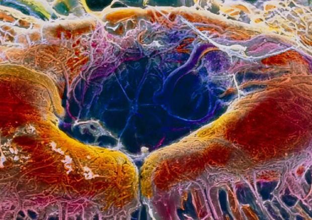 La Crispr-Cas applicata per la prima volta in vivo nelle cellule della retina (fonte: P. Motta/Università Sapienza di Roma/SPL) © Ansa