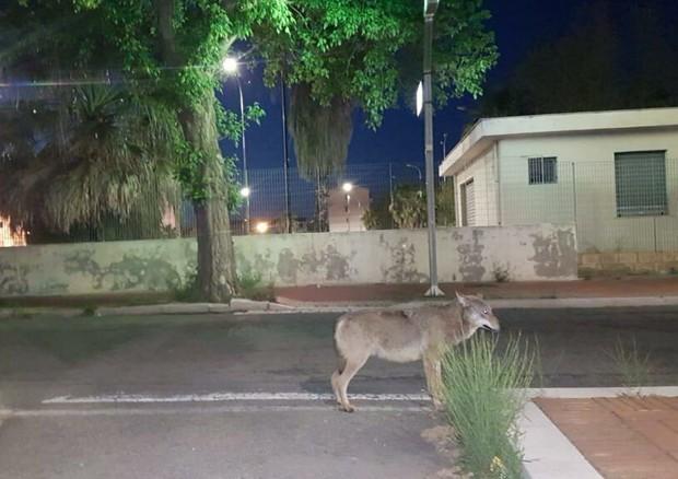 Branco di lupi avvistato a Crotone, approfittano del lockdown