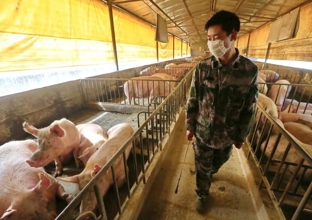 Un allevamento di suini in Cina ©