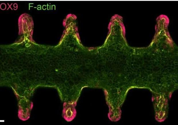 Il mini-intestino su chip, con le staminali evidenziate in rosa (fonte: M. Nikolaev, Lutolf Lab, EPFL) © Ansa