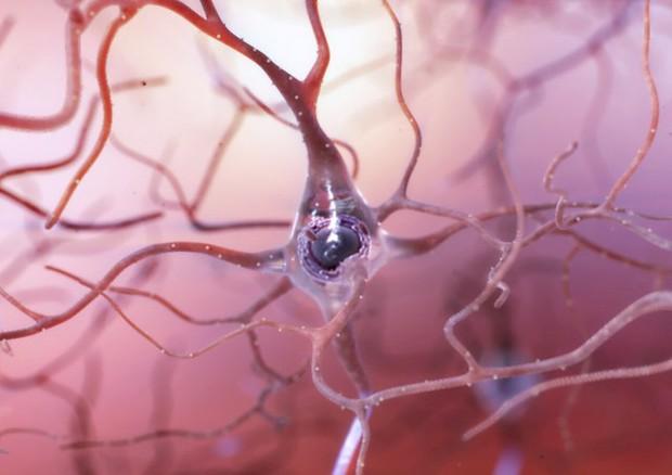 Scoperto un enzima cruciale per l'integrità dei neuroni (fonte: NIA-NIH) © Ansa