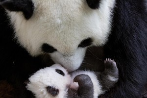 Panda Cubs in Berlin (ANSA)