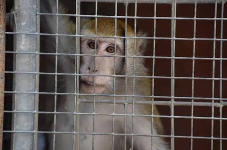 Un esemplare di macaco © Ansa