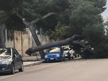 Vento abbatte pino secolare a Bari
