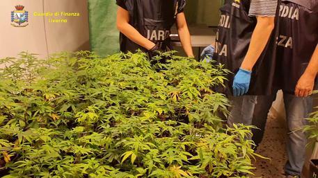 Coltiva droga per 2,1 mln euro, arrestato uno chef