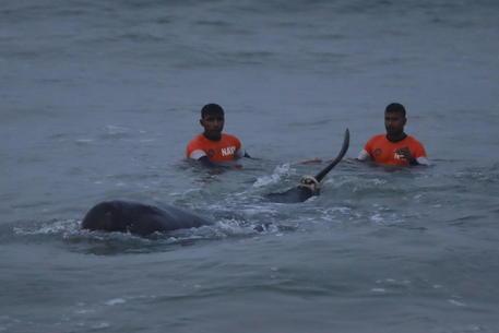 Sri Lanka: salvate oltre 100 balene arenate in spiaggia