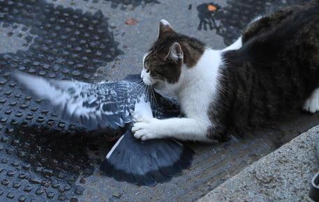 Brexit, il gatto Larry ruba la scena a Downing Street. e attacca un piccione