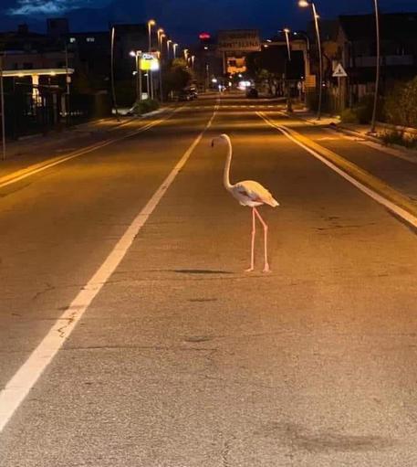 Fenicottero attraversa strada vicino le case, foto è virale