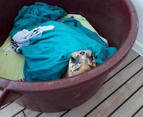 Nel Ferrarese nasce un pronto soccorso per tartarughe marine