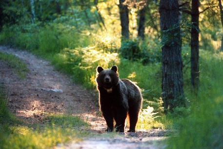 Accolto il ricorso contro l'uccisione dell'orsa Gaia - Cronaca - ANSA
