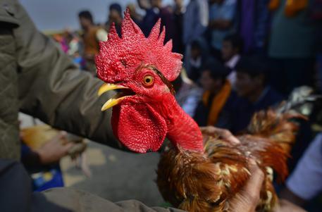 Il gallo canta troppo presto, multa da 166 euro all'anziano proprietario