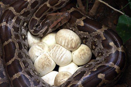 Usa: pitone senza un maschio da almeno 15 anni, depone 7 uova