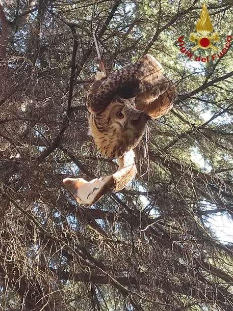 Rimane impigliato tra i rami di un albero, salvato gufo - Lazio