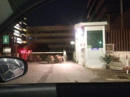 Cinghiali avvistati davanti ingresso del tribunale di Roma - Lazio