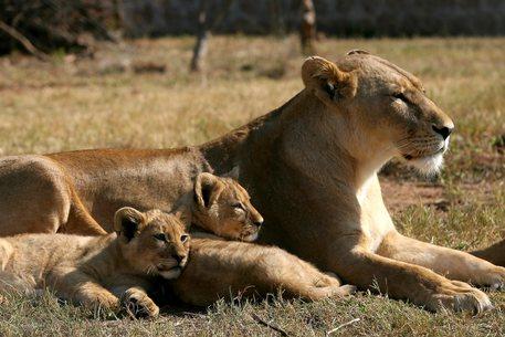 Sudafrica vieta di allevare leoni per la caccia thumbnail