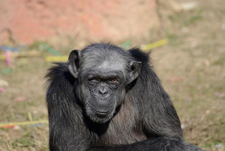 Morta Judy, la scimpanzé più anziana d'Europa