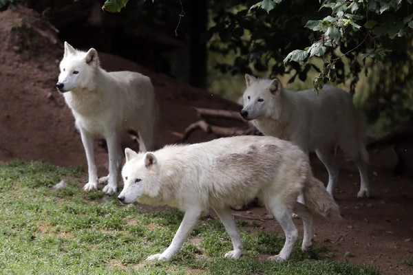 Wolves in France