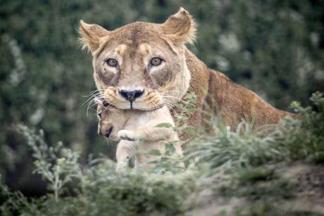 Copenhagen Zoo puts down four lions